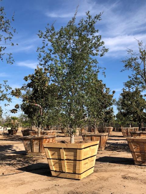 """60"""" Quercus Agrifolia"""