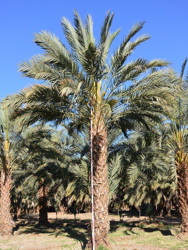 Medjool Date Palm Phoenix dactylifera