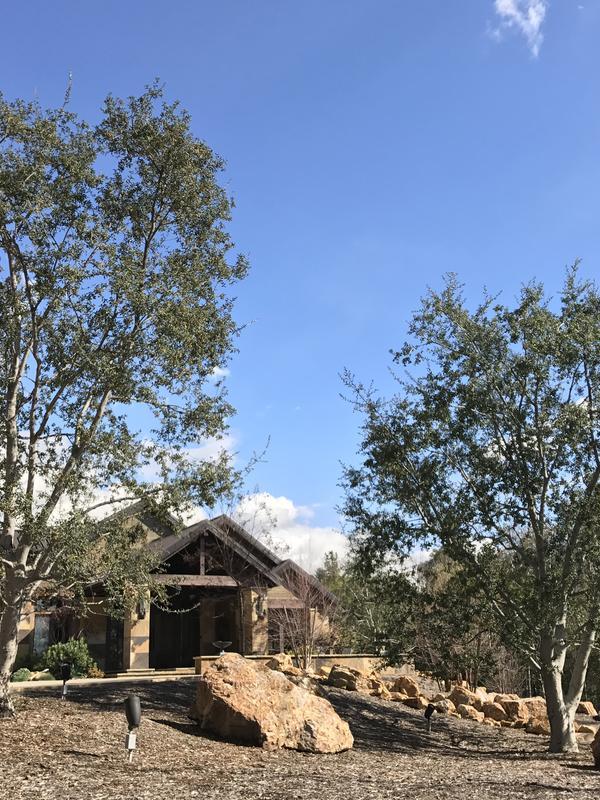 Quercus agrifolia California Live Oak Install