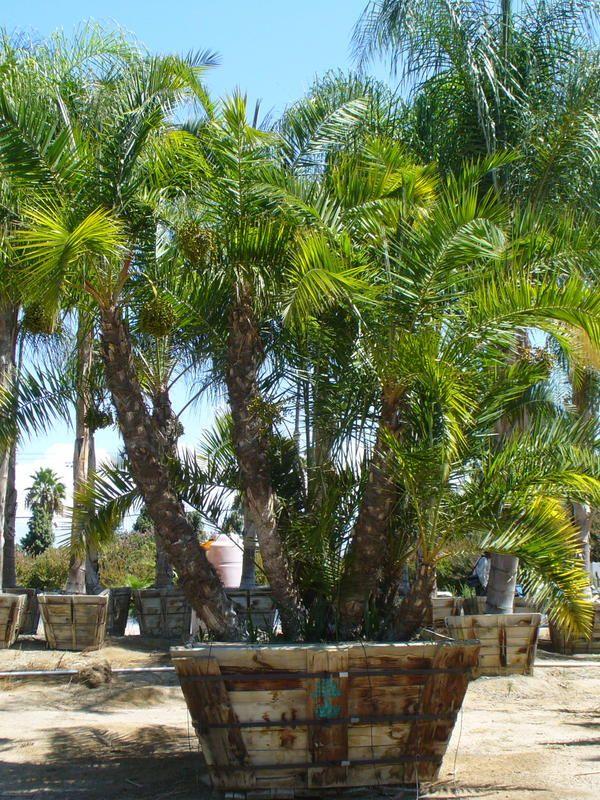 Phoenix reclinata Senegal Date Palm