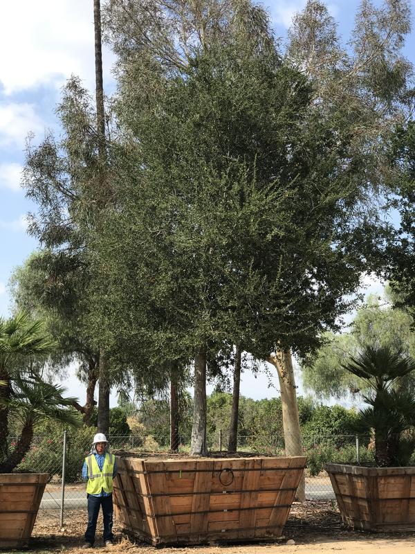 """108"""" Quercus Agrifolia"""