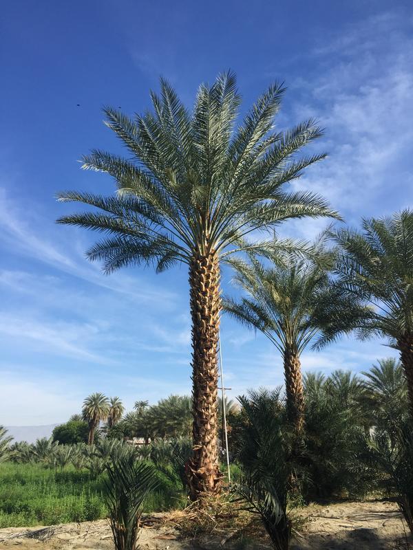 Male Date Palm Phoenix dactylifera Macho