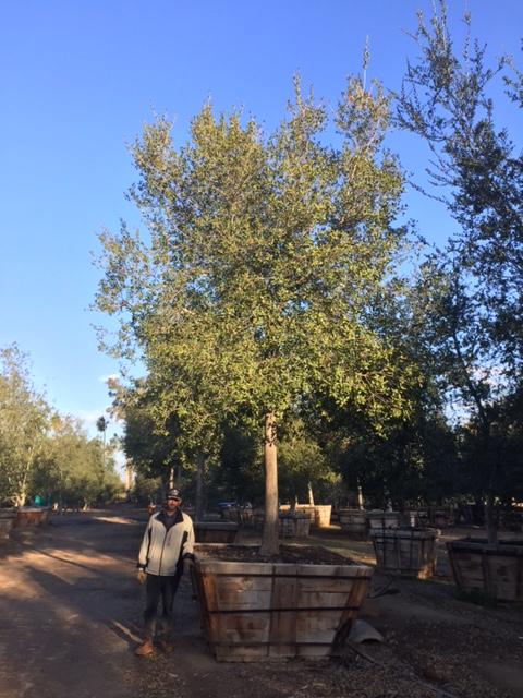 72 Quercus Agrifolia