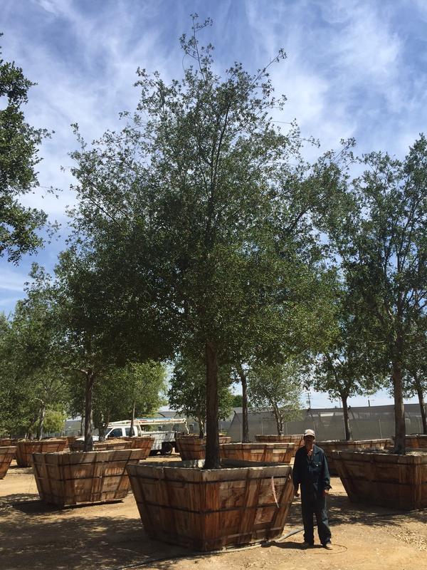 """84"""" Quercus Agrifolia"""