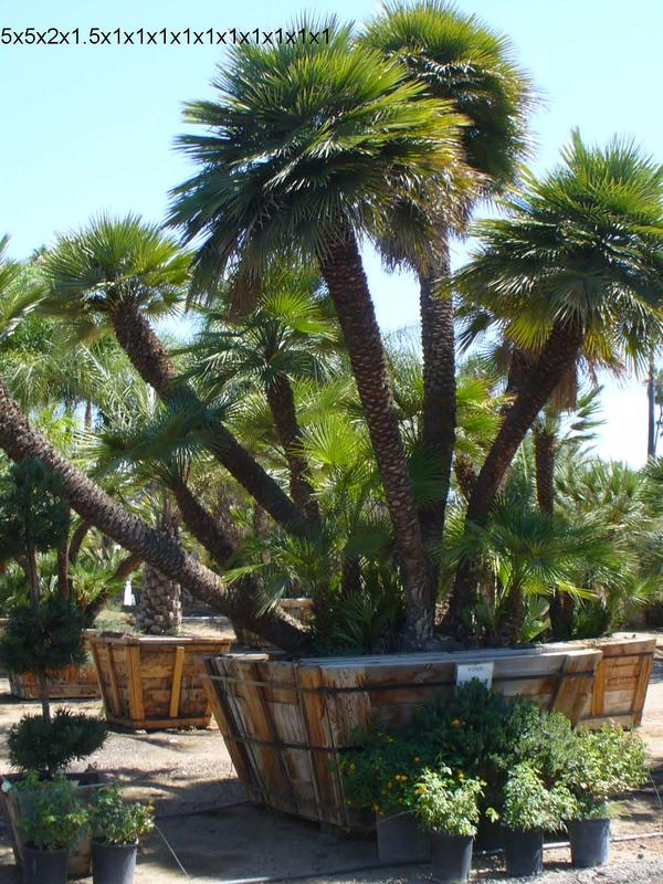 Mediteranean Fan Palm