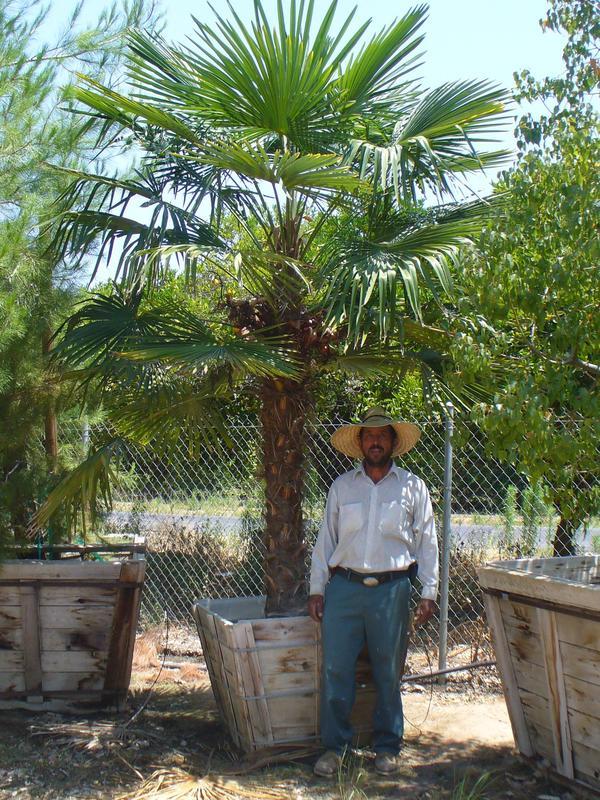 Windmill Palm Trachycarpus fortunei