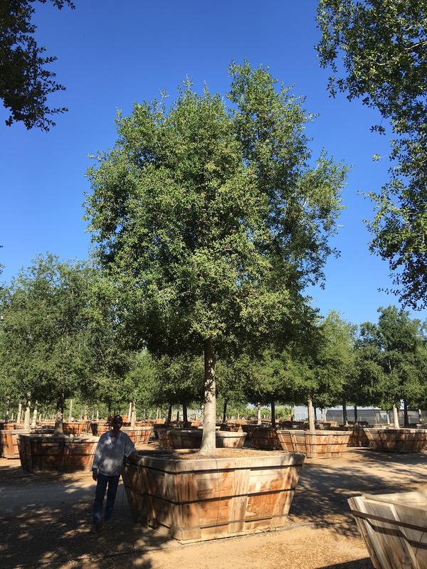 """96"""" Quercus agrifolia"""
