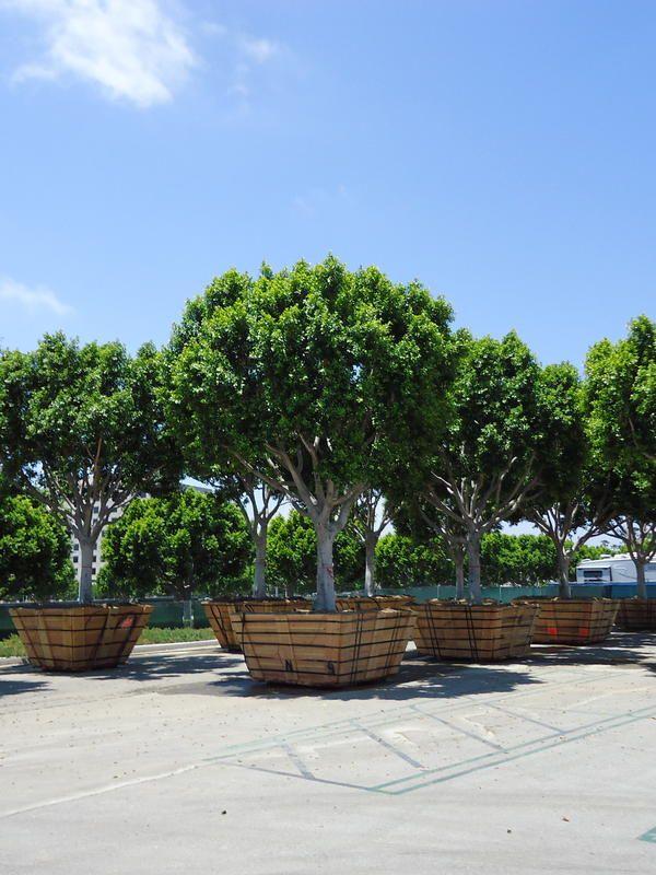 Ficus Tree Storage Maintenance Irvine