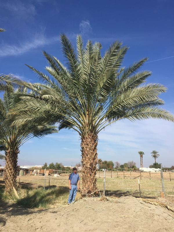Zahidi Date Palm